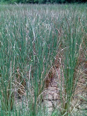 那么此次干旱对正处于旺盛生长期的甘蔗生长和后期