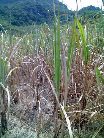那么此次干旱对正处于旺盛生长期的甘蔗生长和后期产